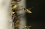 Rinviano il funerale a causa dell'invasione di vespe e calabroni